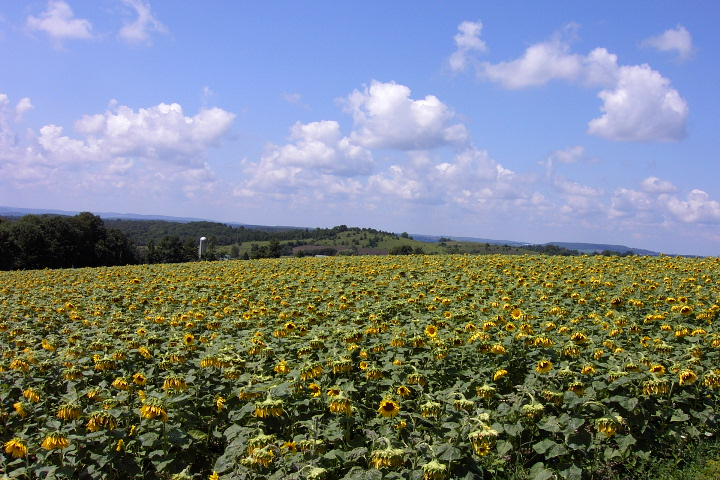 Sunflower Field in Upstate New York